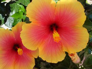 Hibiscus- red-yellow-hibiscus-Career-as-a-nurseryman