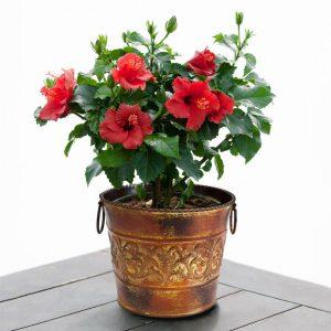 Hibiscus shrub-hibiscus-medical-plant