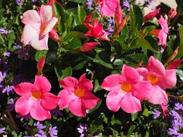 Mandevilla Vine-vines-in-the-landscape