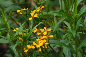 Mexican Tarragon-backyard-gardening