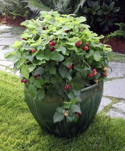 Raspberries growing in container-vine-in-the-landscape