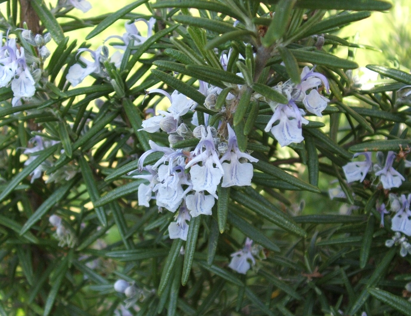 Rosemary Herb-indoor-water-gardens