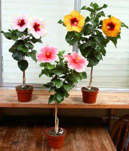 Standard hibiscus- hibiscus-medical- plant