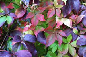 Virginia creeper-vines-in-the-landscape
