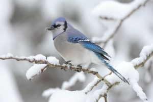 Blue Jay-how-to-care-for-birds-in-the-winter