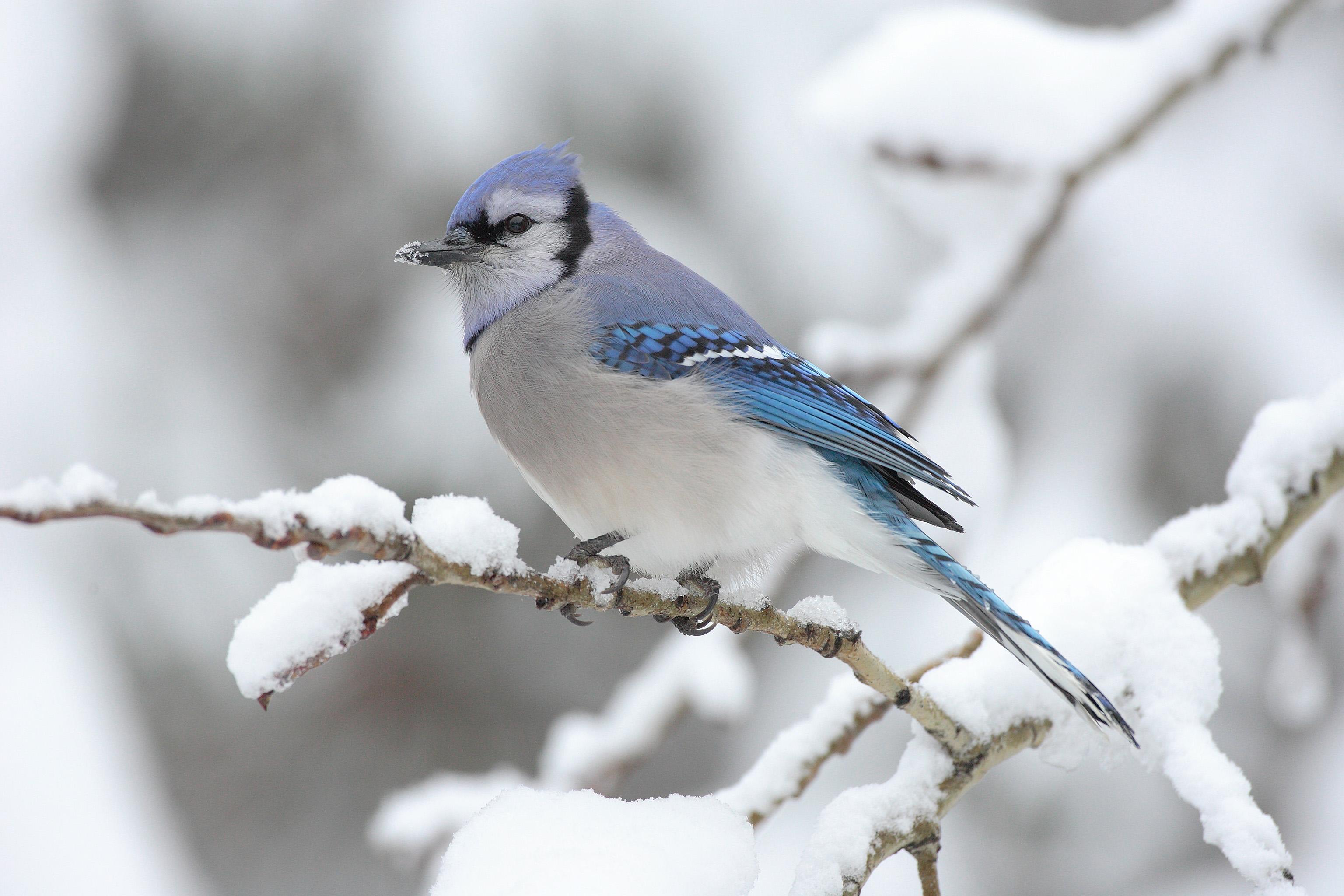 Blue Jay-winter-garden-chores