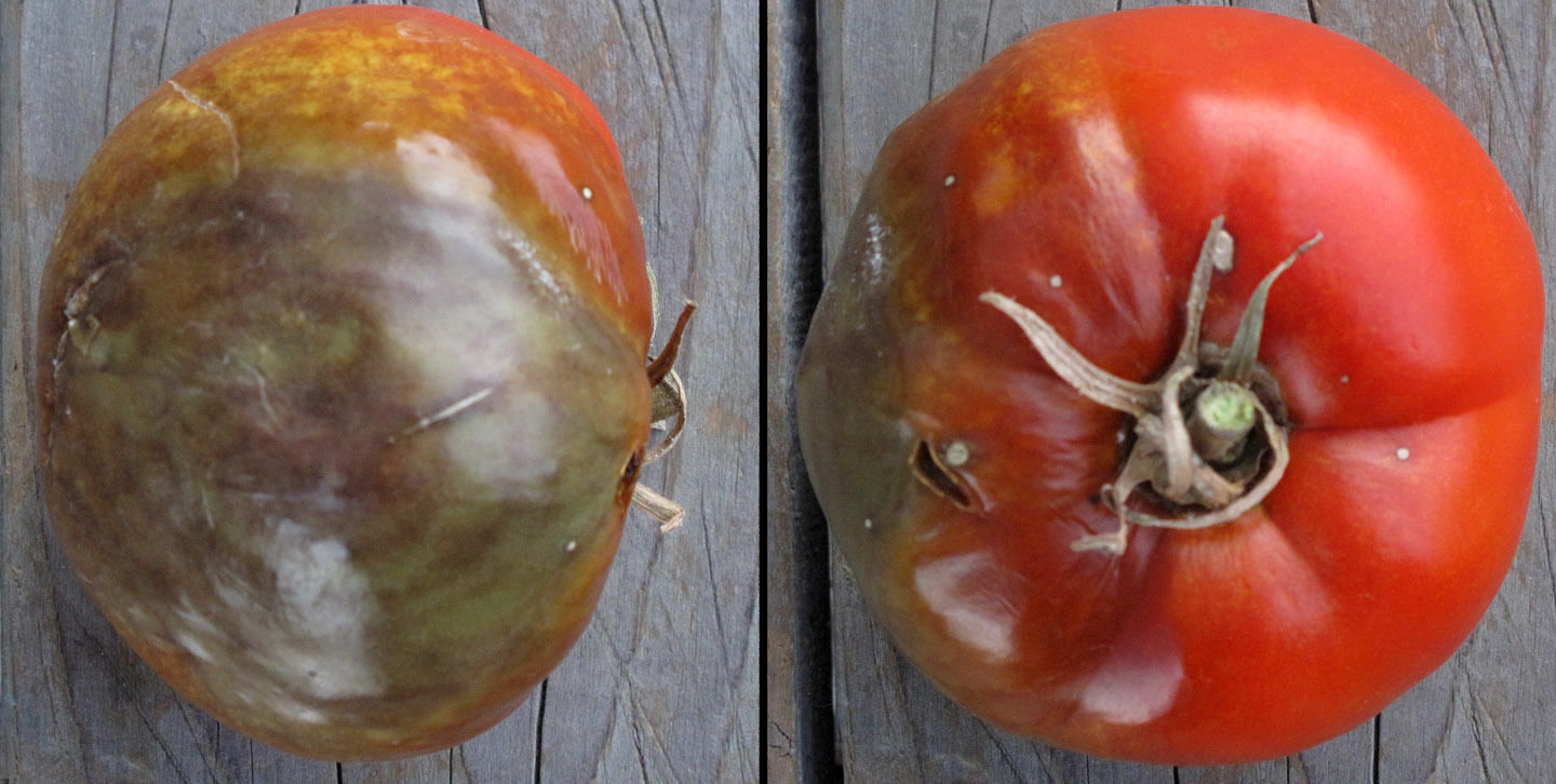 Disease of tomatoes-how-to-grow-tomatoes-in-containers