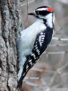 Downy woodpeckers-caring-for-birds-in-the-winter