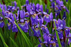 Iris-plants-that-hide-outdoor-structures