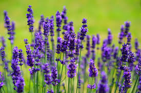Lavender Plants-plants-that-help-you-sleep