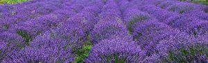 Lavender plants-Growing-lavender-plants