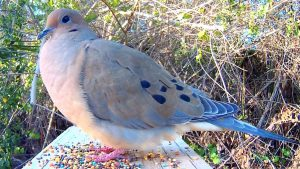 Mourning Dove-how-to-care-for-birds-in-the-winter