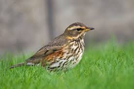 Redwing-how-to-care-for-birds-in-the-winter