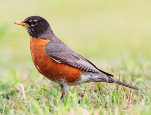 Robin Standing In A Grass Area-how-to-keep-birds-from-eating-grass-seeds