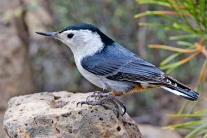 White breasted nuthatch resting on rocks-caring-for-birds-in-the-winter