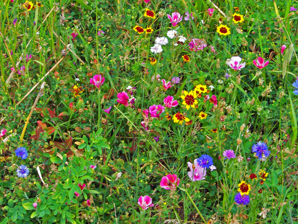 Wildflower Seeds-how-to-plant-a-meadow