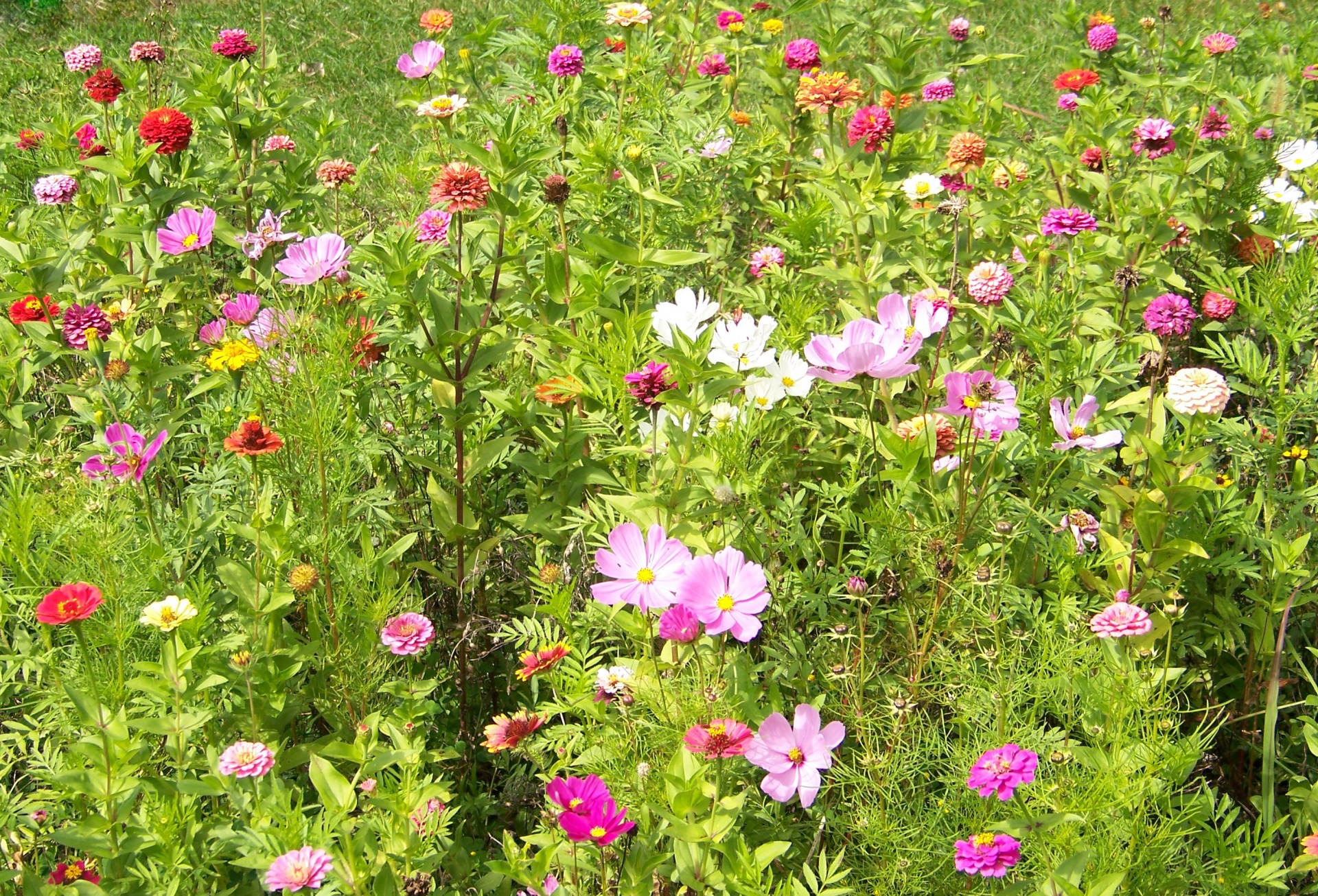 Wildflowers-how-to-a-wildflower-garden