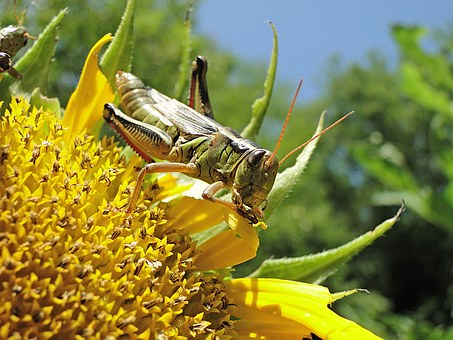 Grasshopper-homemade-remedies-for-garden-insect-pest