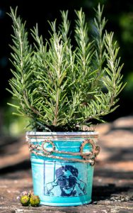 Growing rosemary in containers-indoor-pest-repellent-plants