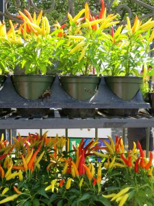 Chilli Peppers-growing-chilli-peppers