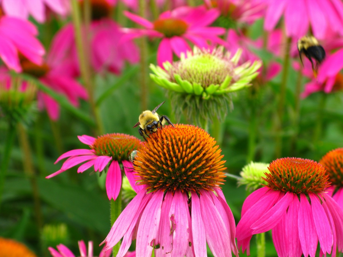 Purple coneflower-how-to-improve-sandy-soil