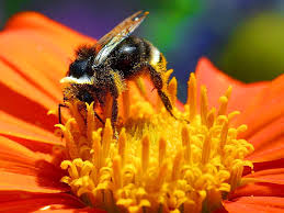 Bumblebee-how-to-attract-bumble-bees-to-your-garden