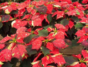 Variegated Poinsettia-decorating-with-poinsettia