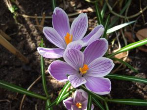 Spring flowering bulb-spring-bulb-frost-protection
