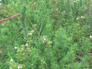 Winter Savory-growing-winter-savory