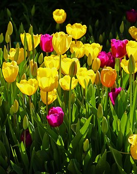 Tulips-how-much-time-should-you-spend-in-your-garden