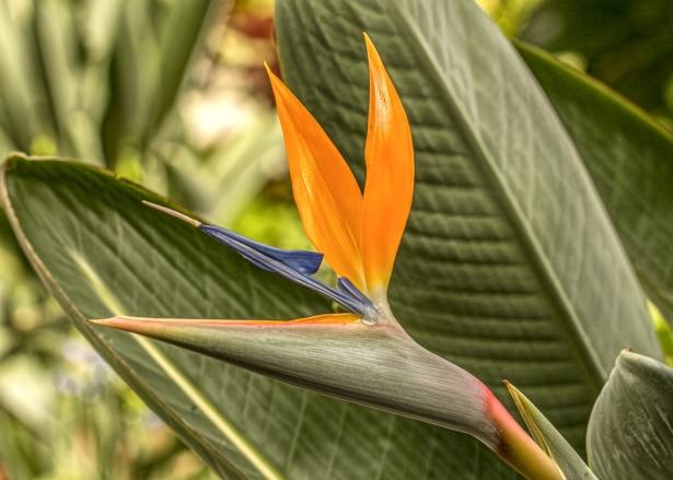 Bird Of Paradise-how-to-grow-a-bird-paradise-plant