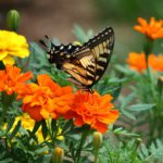 Marigolds-how-to-plant-and-care-for-marigolds