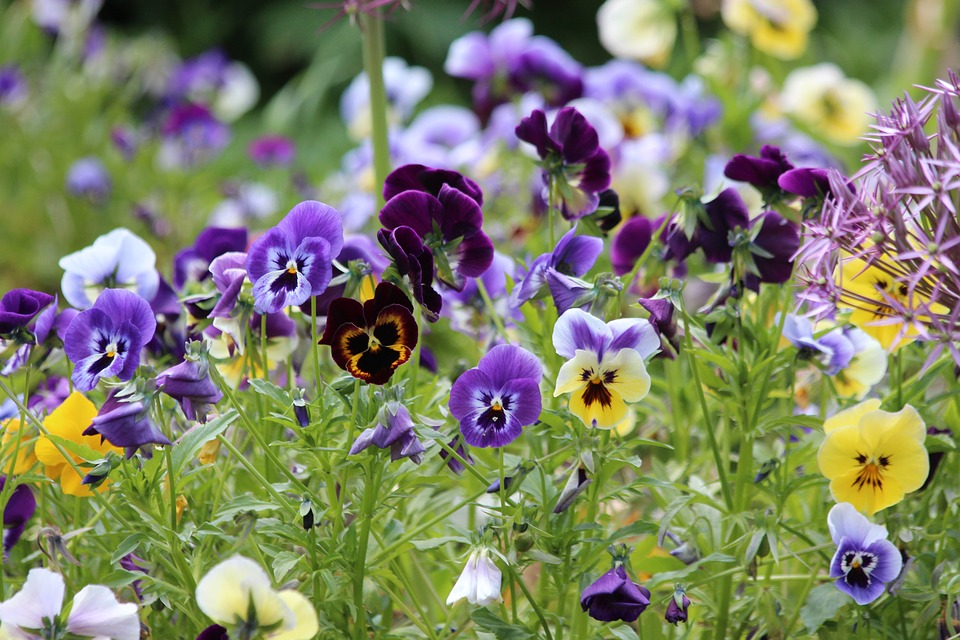 Pansies violet-slopes-and-hillside-gardens