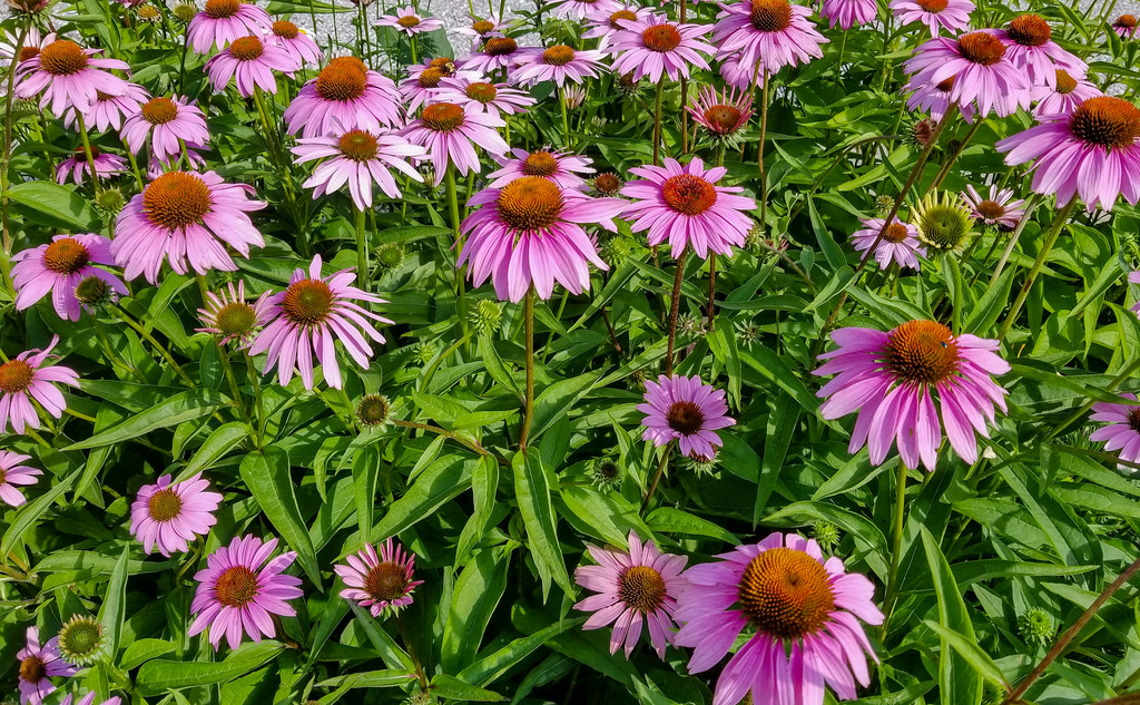 Purple Coneflower-slopes-and-hillside-gardens