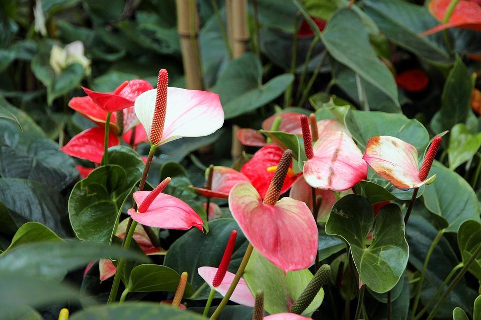 Anthuriums-growing-anthuriums