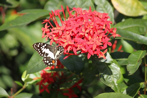 Butterfly On Ixora-ixora-plant-care