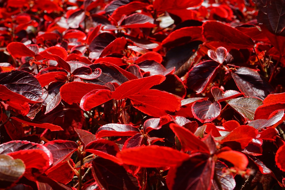 Copper Leaf-copper-leaf-plant-care