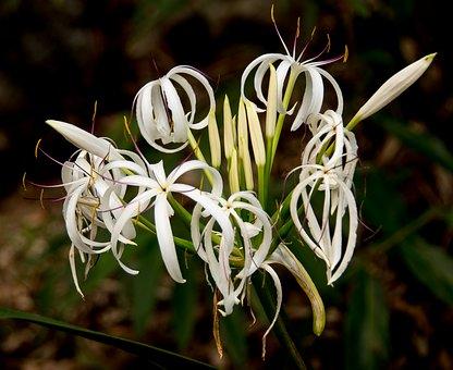 Crinum Lily-crinum-lily-plant-care