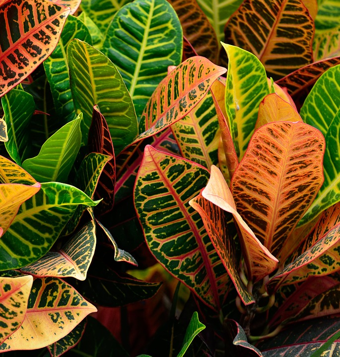 Croton Growing-petra-croton
