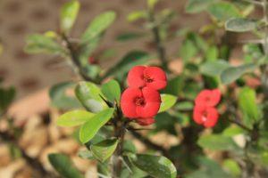 Crown Of Thorns-growing-crown-of-thorns