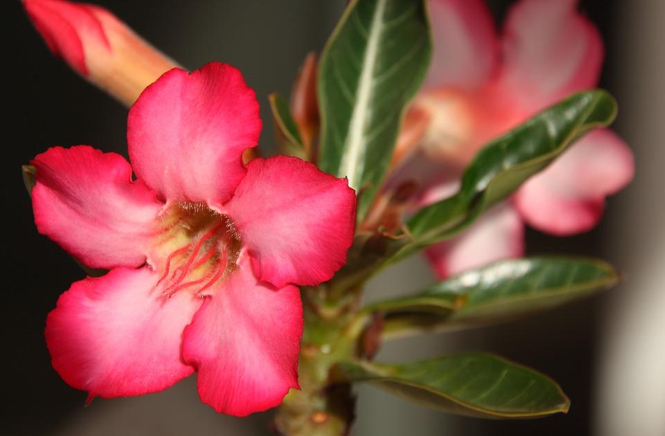 Desert Rose-desert-rose-plant-care