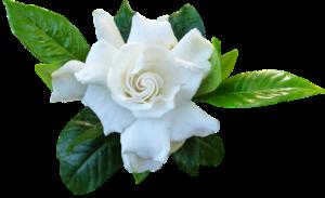 Gardenia-how-to-grow-and-care-for-gardenia-plants