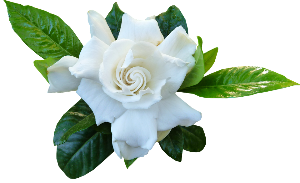 Gardenia-how-to-grow-and-care-for-gardenia-plants