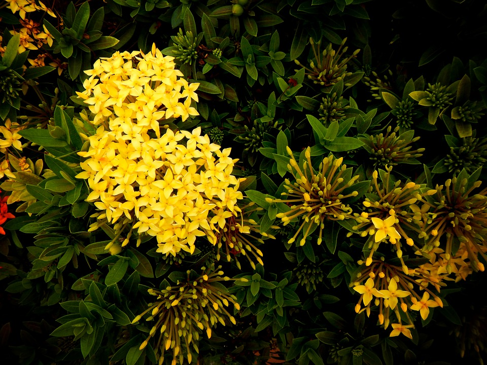 Yellow Ixoras-ixora-plant-care
