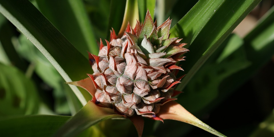 Ornamental Pineapple-ornamental-pineapple-plant-care