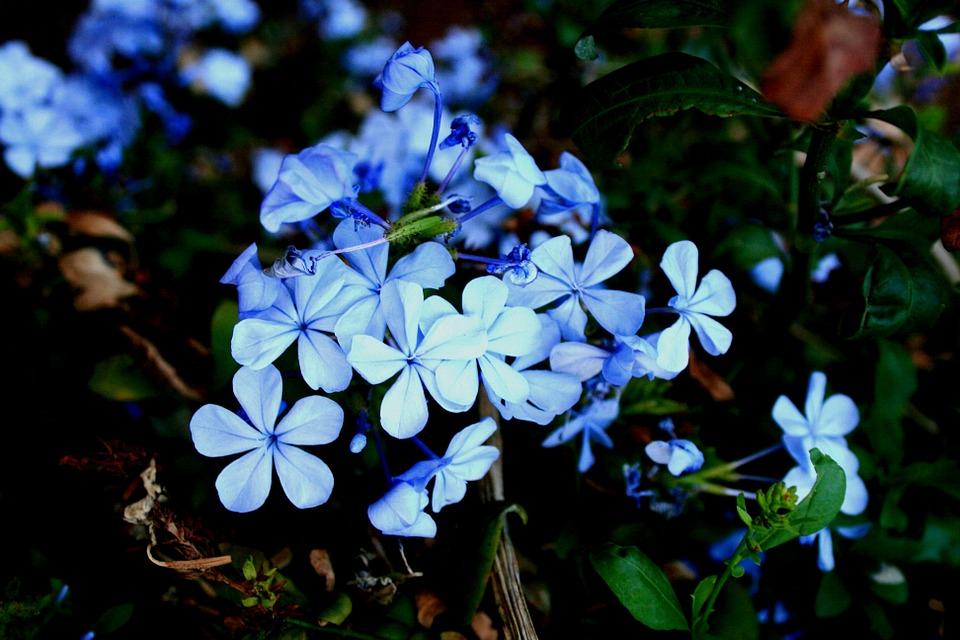 Plumbago Flowers-plumbago-plant-care