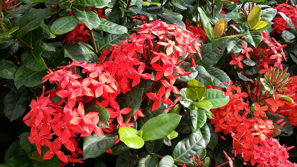 Red Flower Ixora-ixora-plant-care
