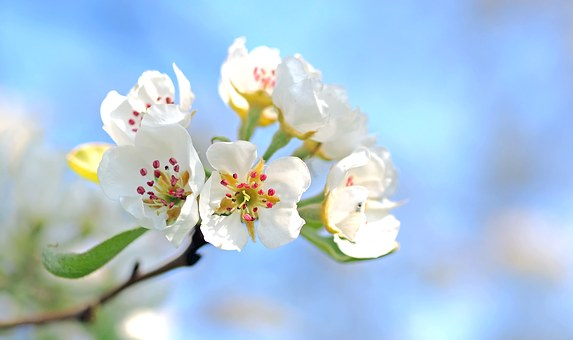 Apple Blossoms-how-to-use-horticutural-oil
