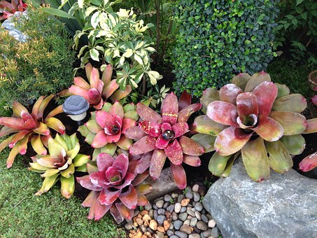 Bromeliad-bromeliad- propagation-methods