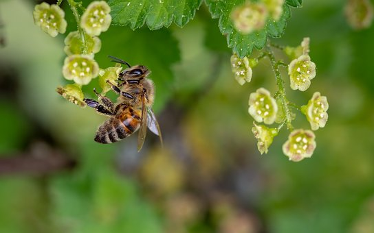 Honey Bee Insect-neem-oil-for-plants